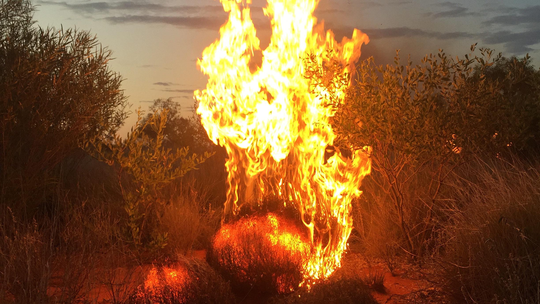 IMG_2593-firebush